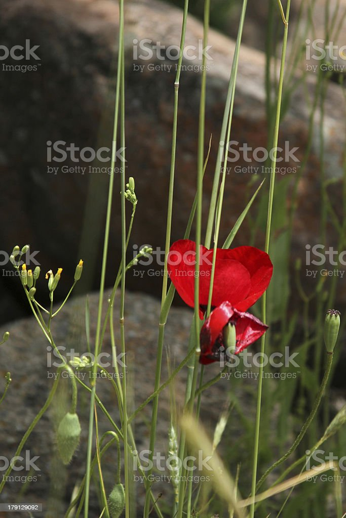 Corn poppy royalty-free stock photo