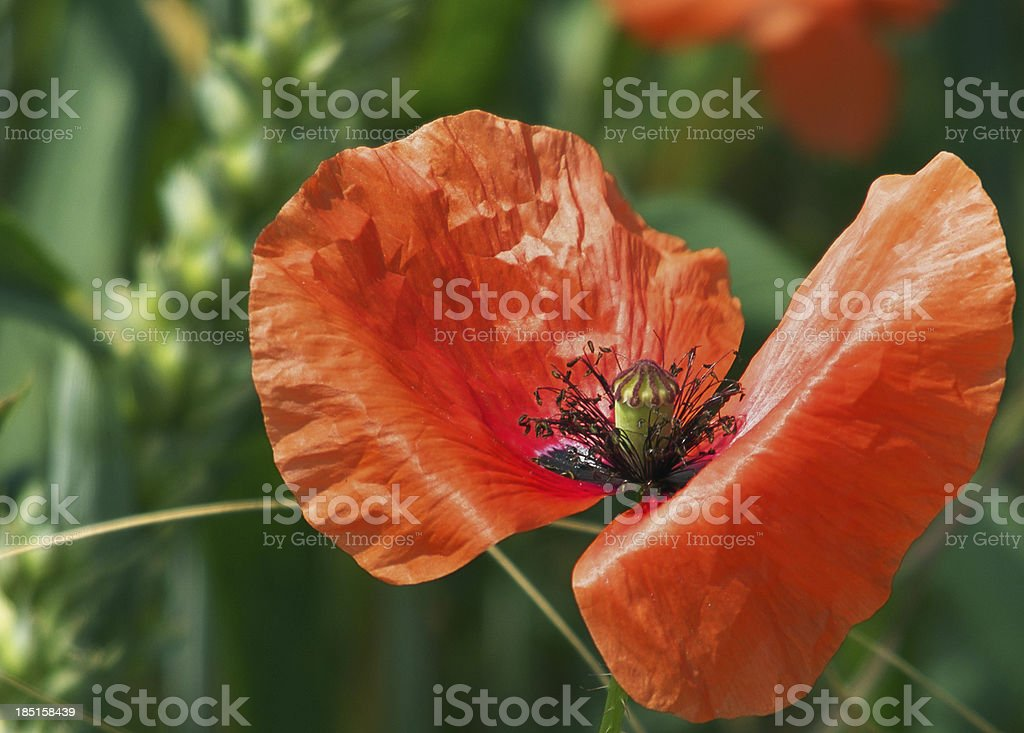 Klatschmohn stock photo