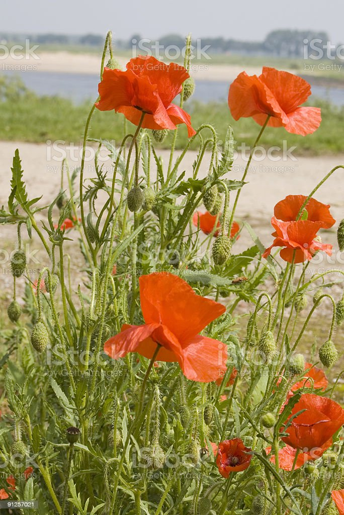 Corn Poppy (Papaver rhoeas) royalty-free stock photo