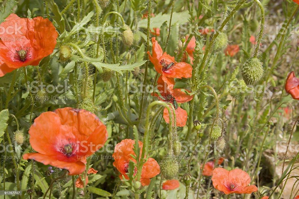 Corn Poppy (Papaver rhoeas/dubium) stock photo