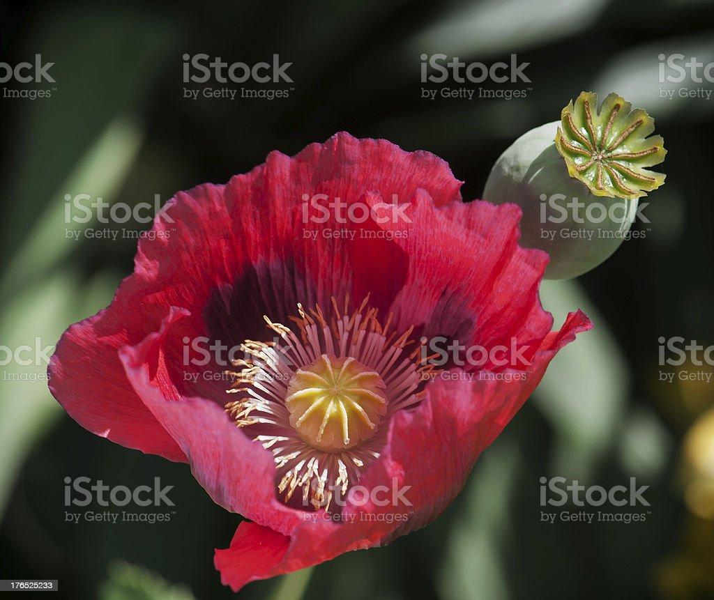 Corn poppy red flower royalty-free stock photo