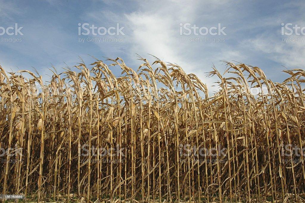 Corn Ready for Harvest Стоковые фото Стоковая фотография