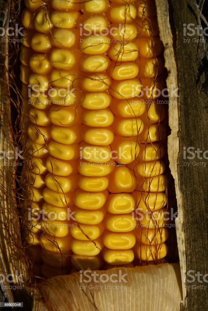 Corn - Ready to Harvest royalty-free stock photo