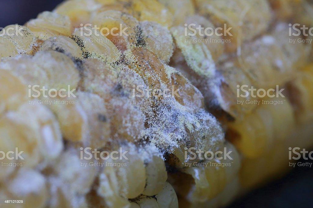 corn rot - disease on ear royalty-free stock photo