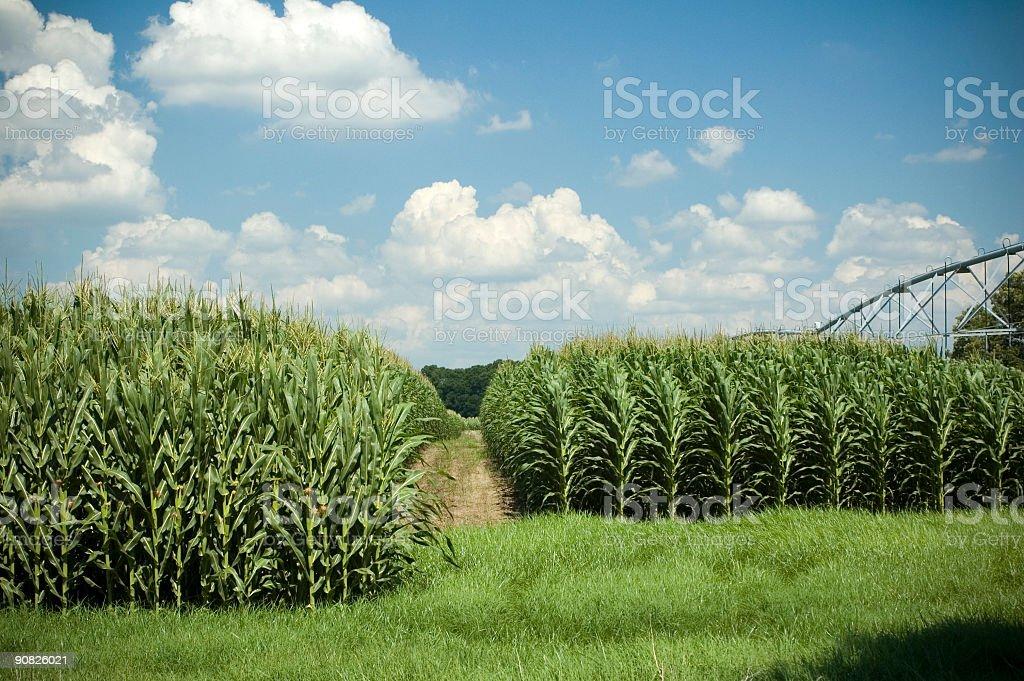 Corn rows 3 royalty-free stock photo
