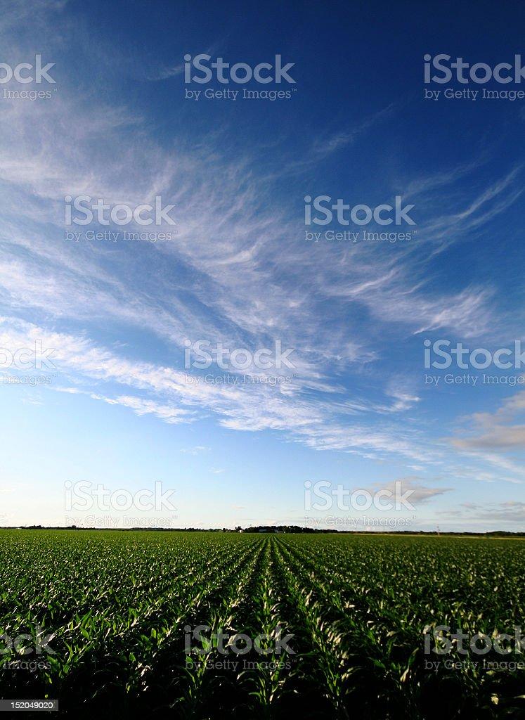 Corn Rows royalty-free stock photo