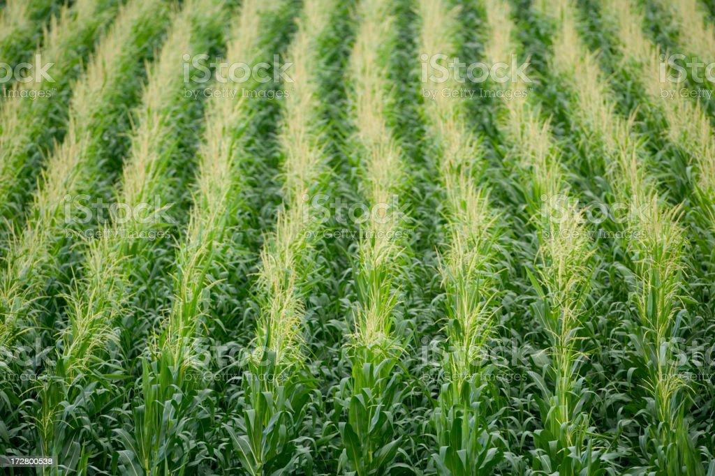 Corn rows. royalty-free stock photo