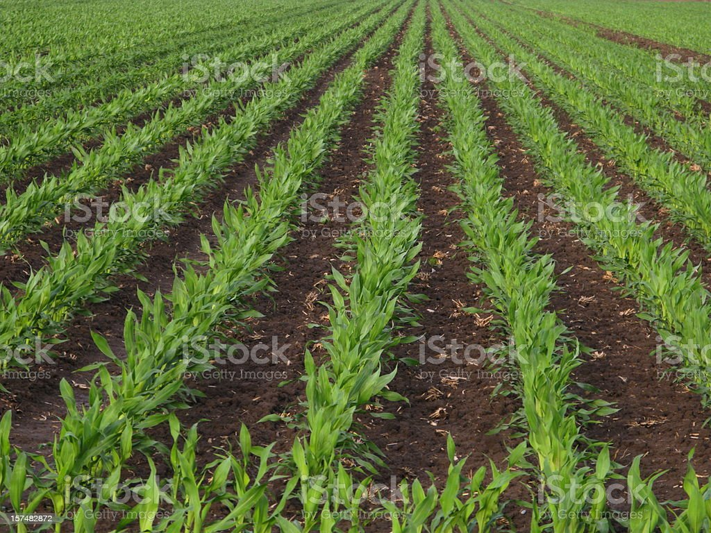 Corn Rows Spring Agriculture royalty-free stock photo