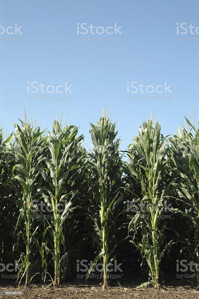 Corn Rows Vertical stock photo