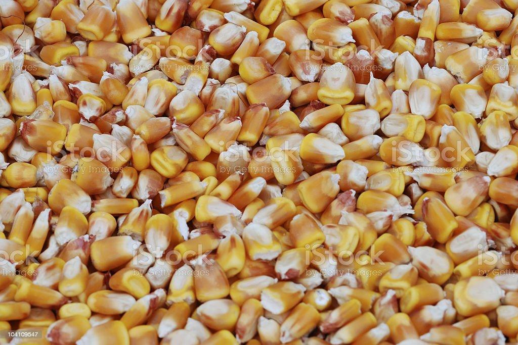corn seed close-up royalty-free stock photo