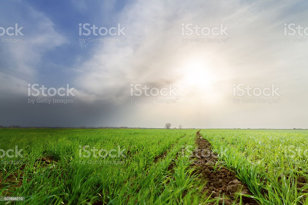 corn seedlings in the field stock photo
