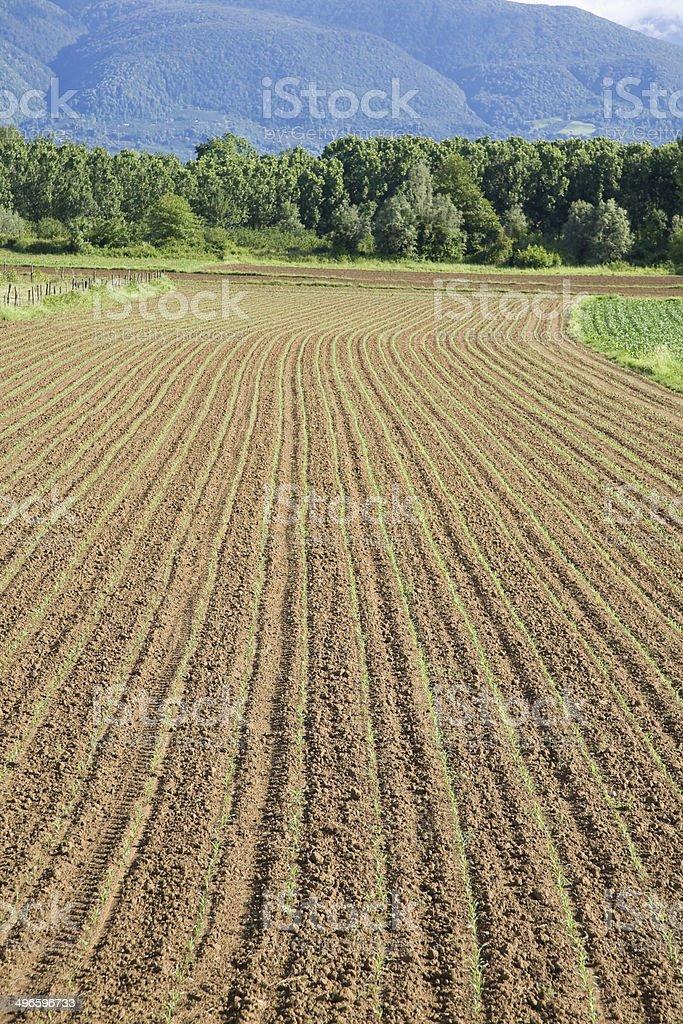 Corn seedlings royalty-free stock photo