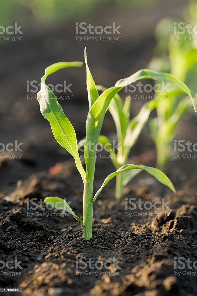 corn seedlings stock photo