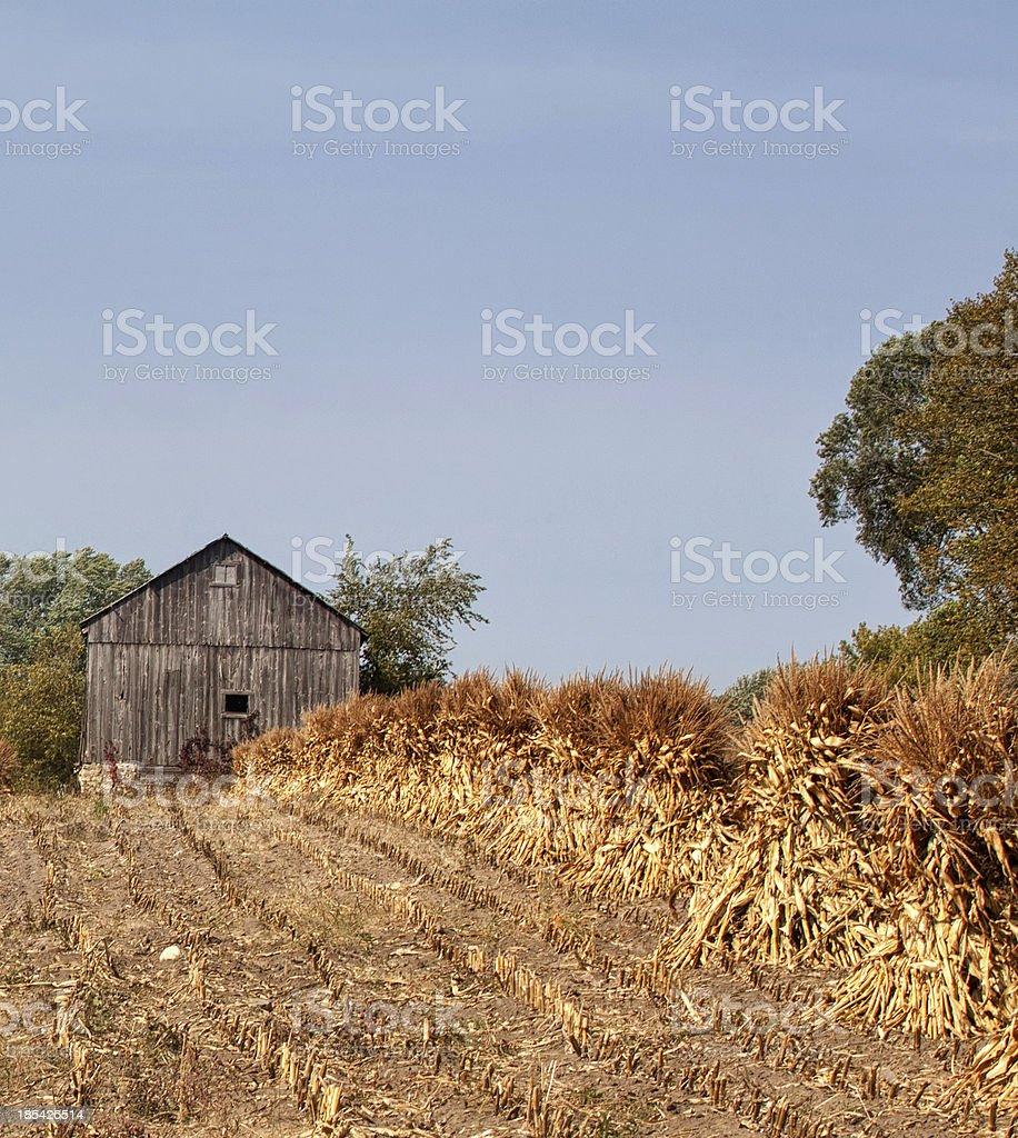 Corn Shocks drying in field stock photo