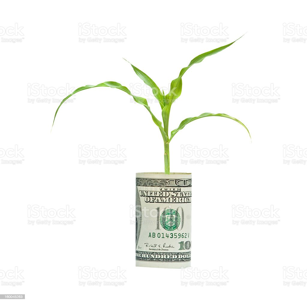 corn shoot growing from dollar bill isolated on white background stock photo