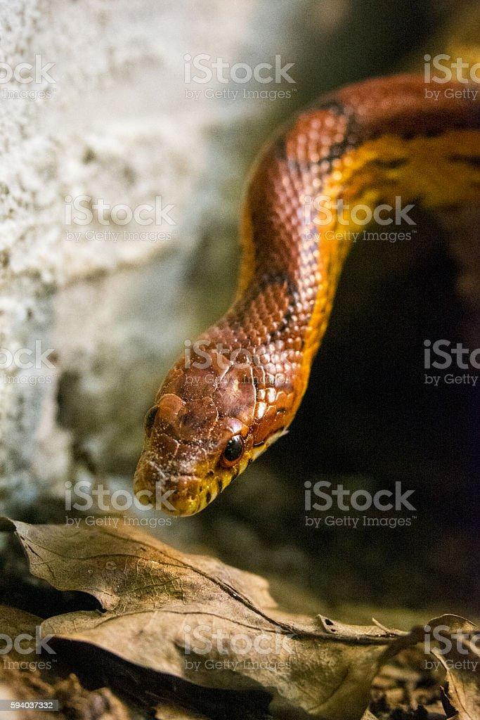 Corn snake close-up stock photo