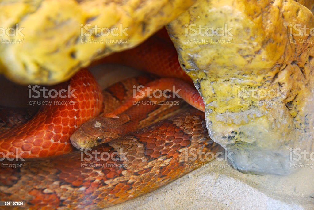 Corn Snake is laying inside of a cave. stock photo