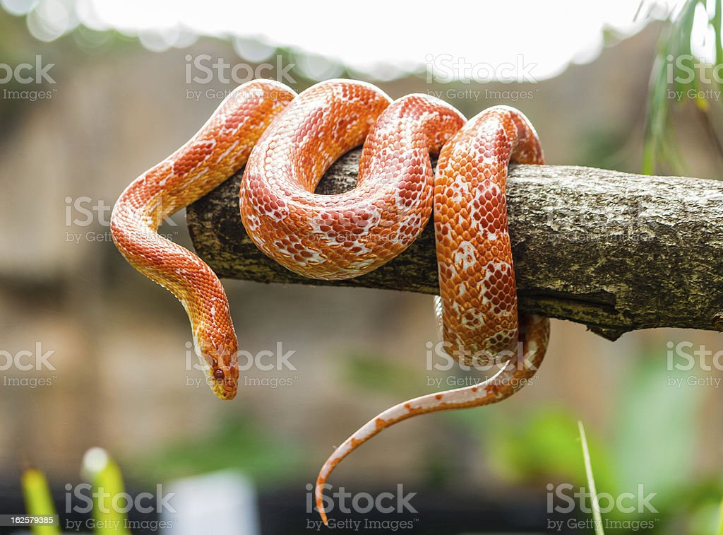 Corn snake on a branch stock photo