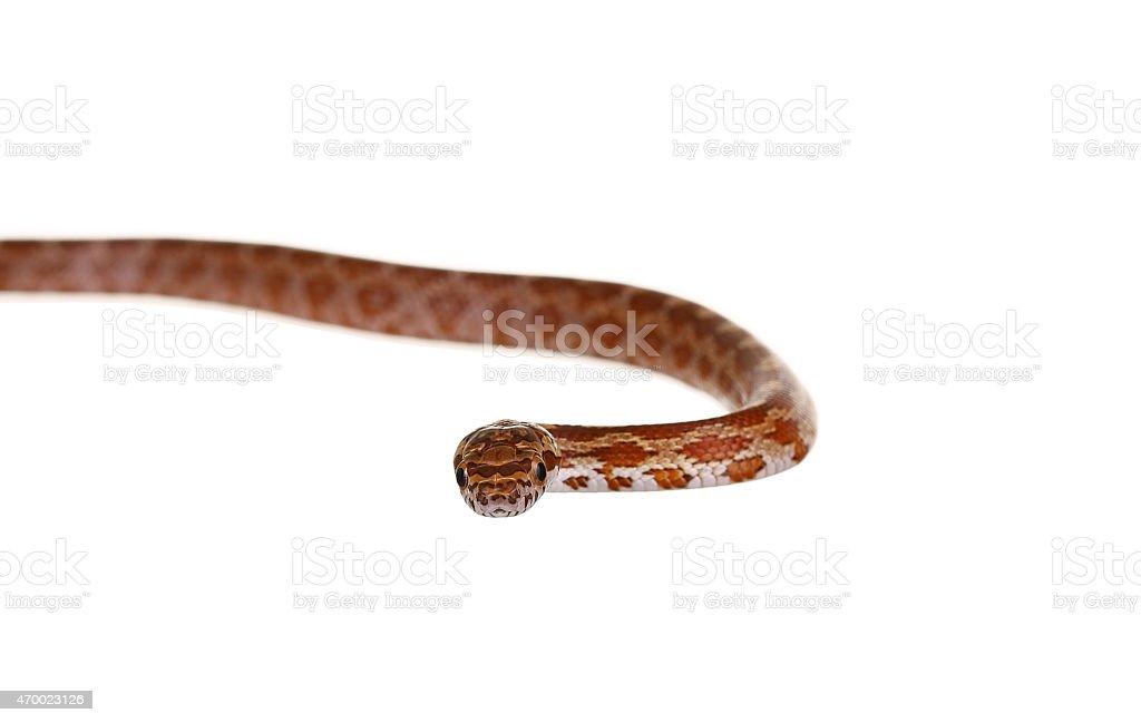 Corn Snake on a white background stock photo
