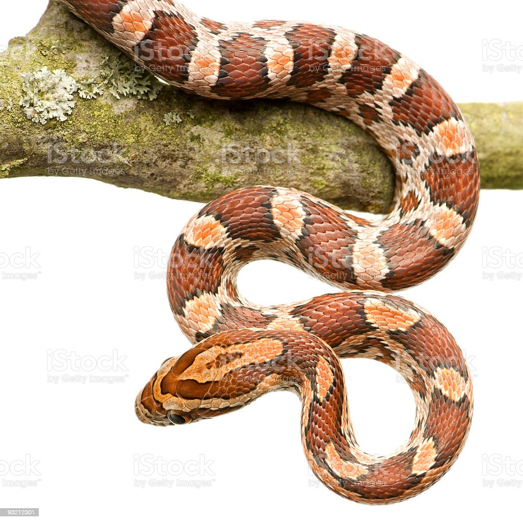Corn Snake royalty-free stock photo