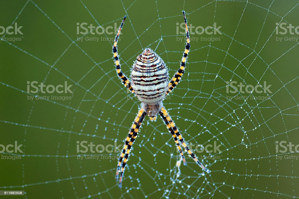 Corn Spider on web with morning dew topside stock photo