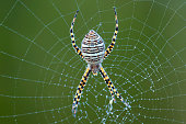 Corn Spider on web with morning dew topside