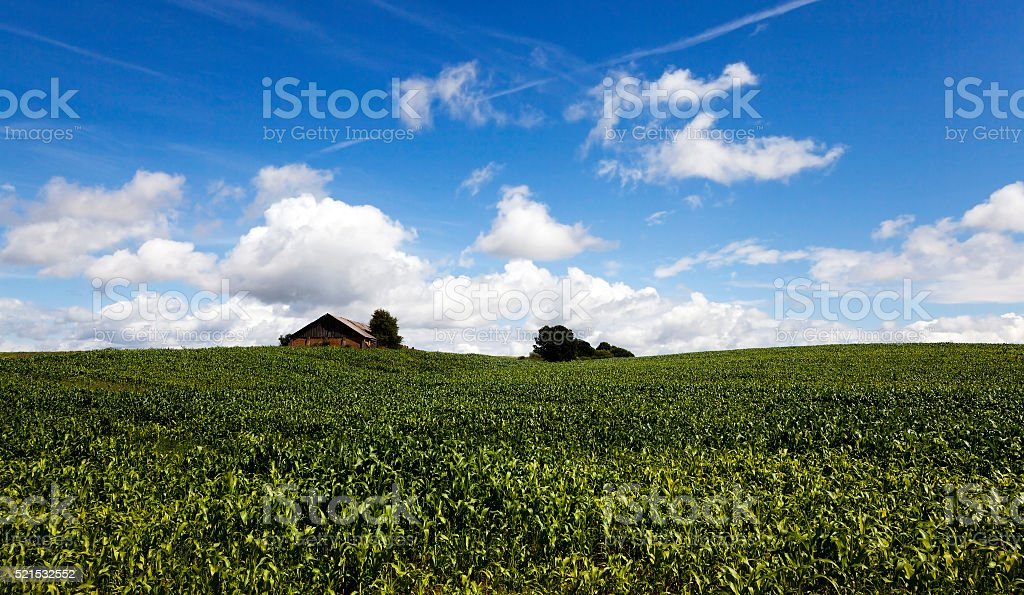 corn sprouts , close up stock photo