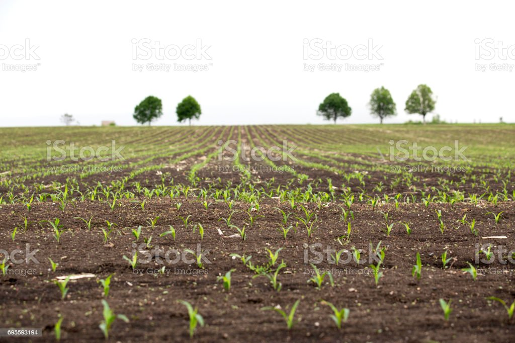 Corn sprouts stock photo