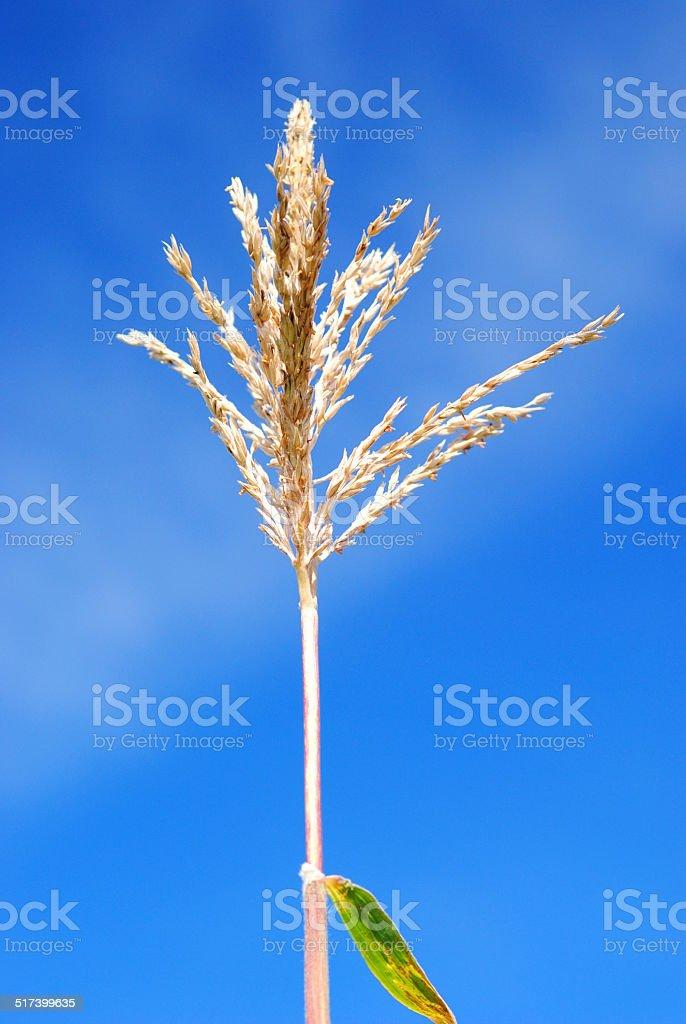 Corn Stalk against Blue Sky stock photo
