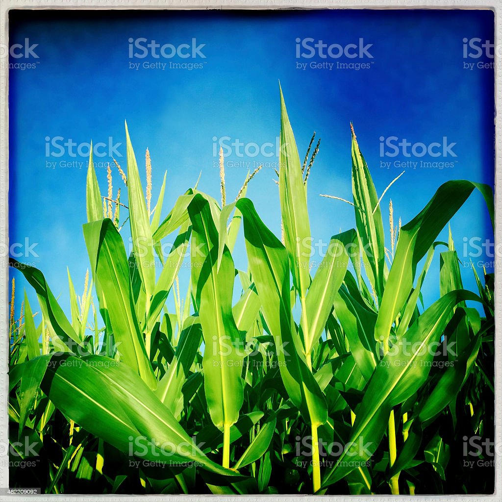 Corn Stalks and Blue Sky stock photo
