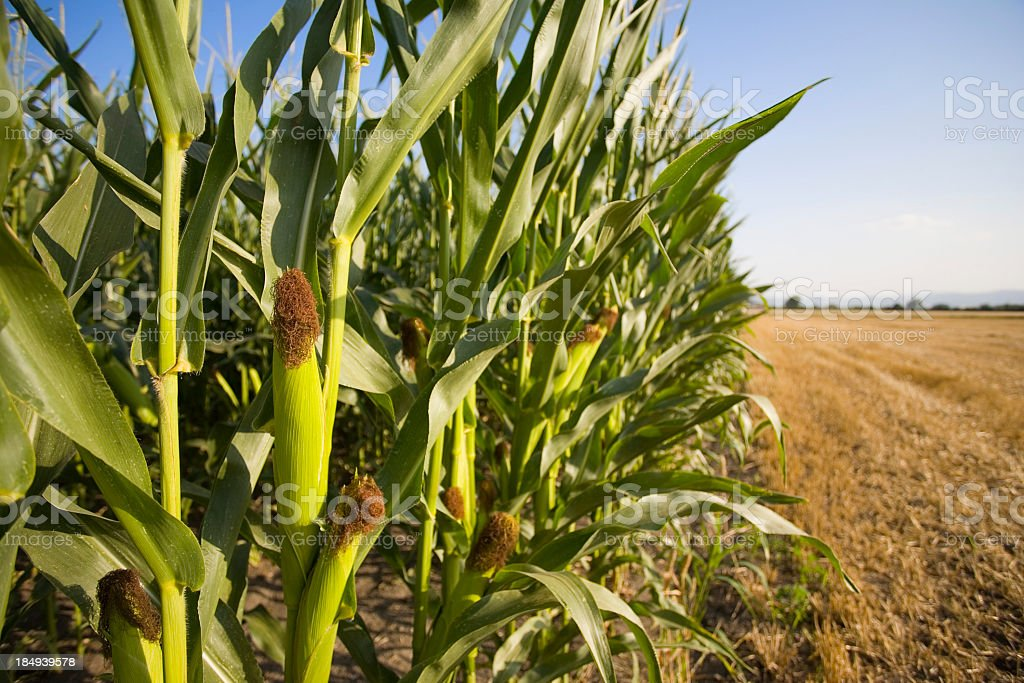 Corn stalks at the edge of a field with clear sky overhead royalty-free stock photo