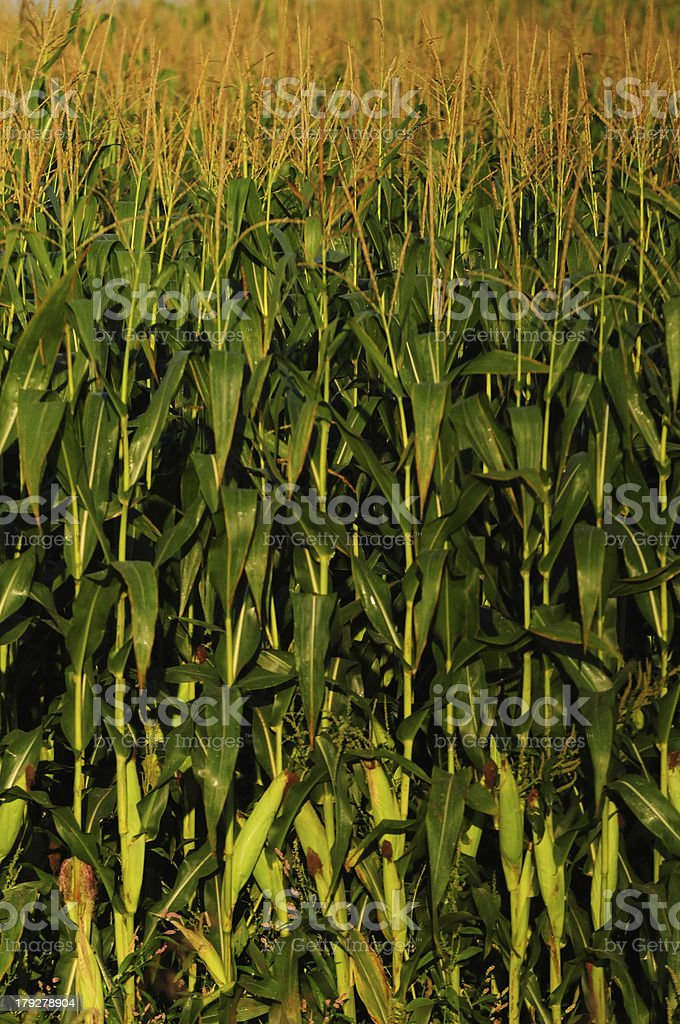 Corn Stalks royalty-free stock photo