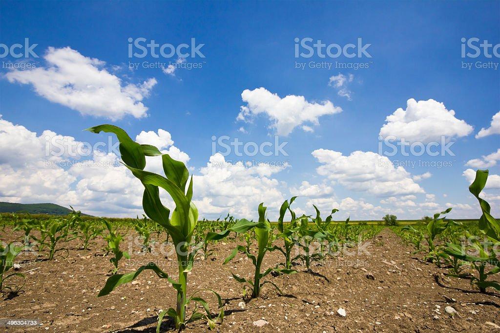 Corn stems stock photo