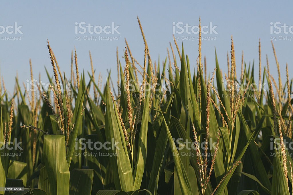 Corn Tassel Close-up royalty-free stock photo