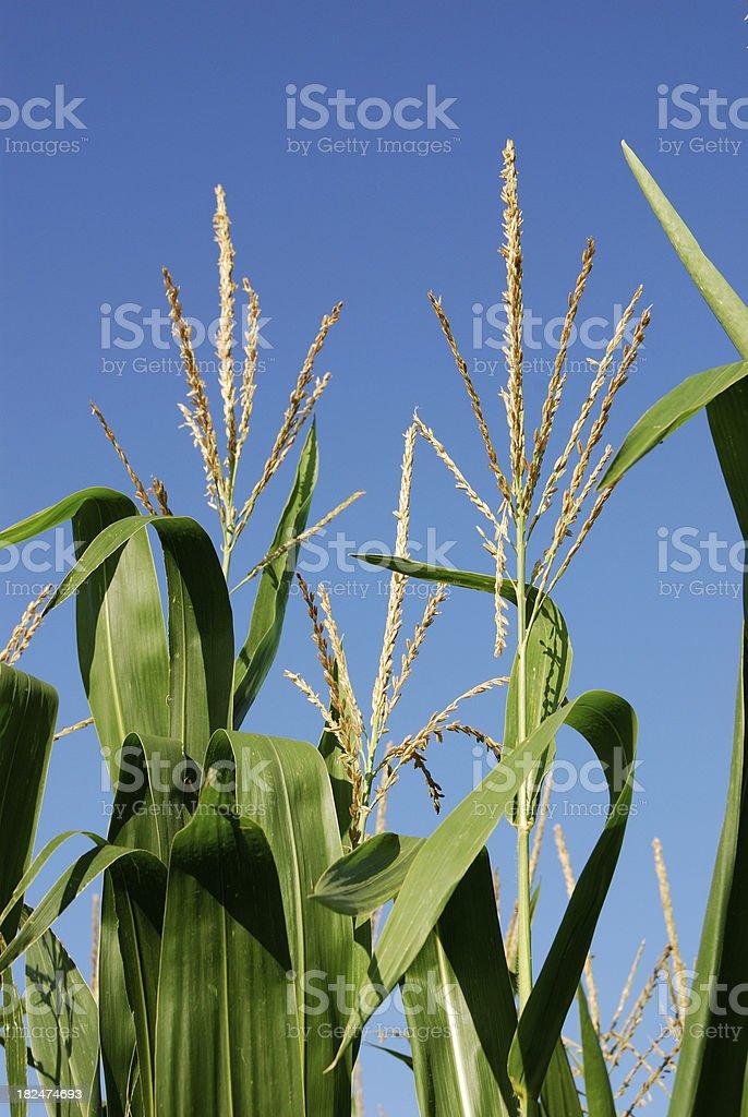 Corn Tassel stock photo