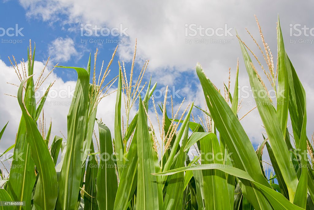 Corn Tassels stock photo