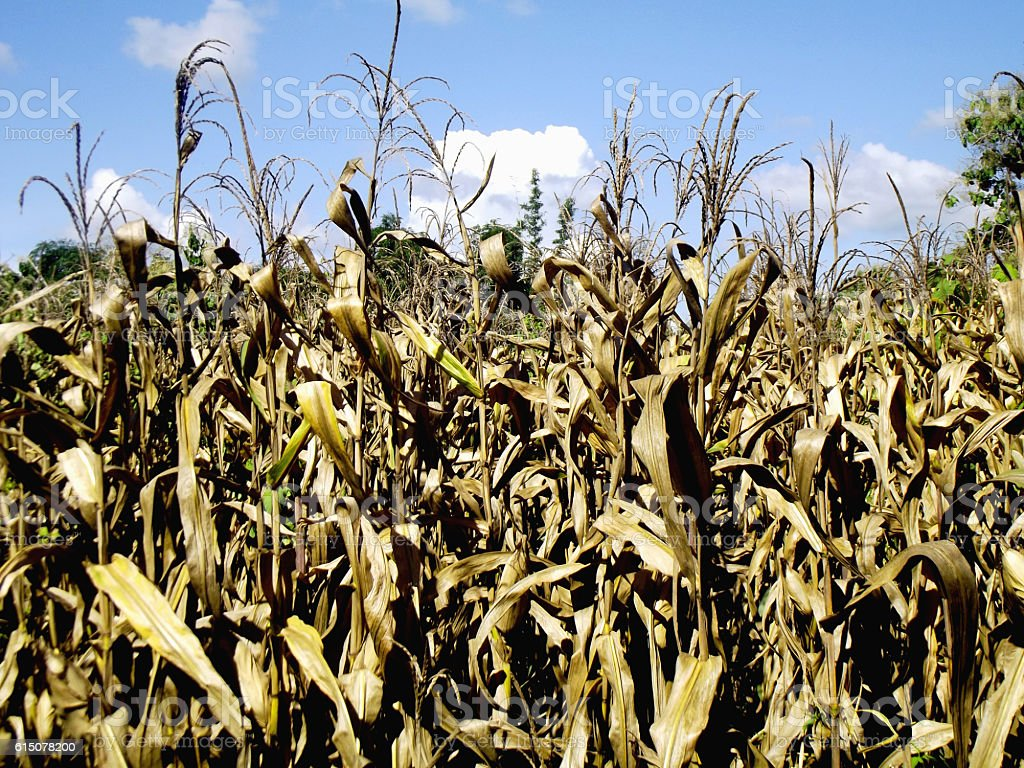 corn tree dry field sky plant nature background stock photo
