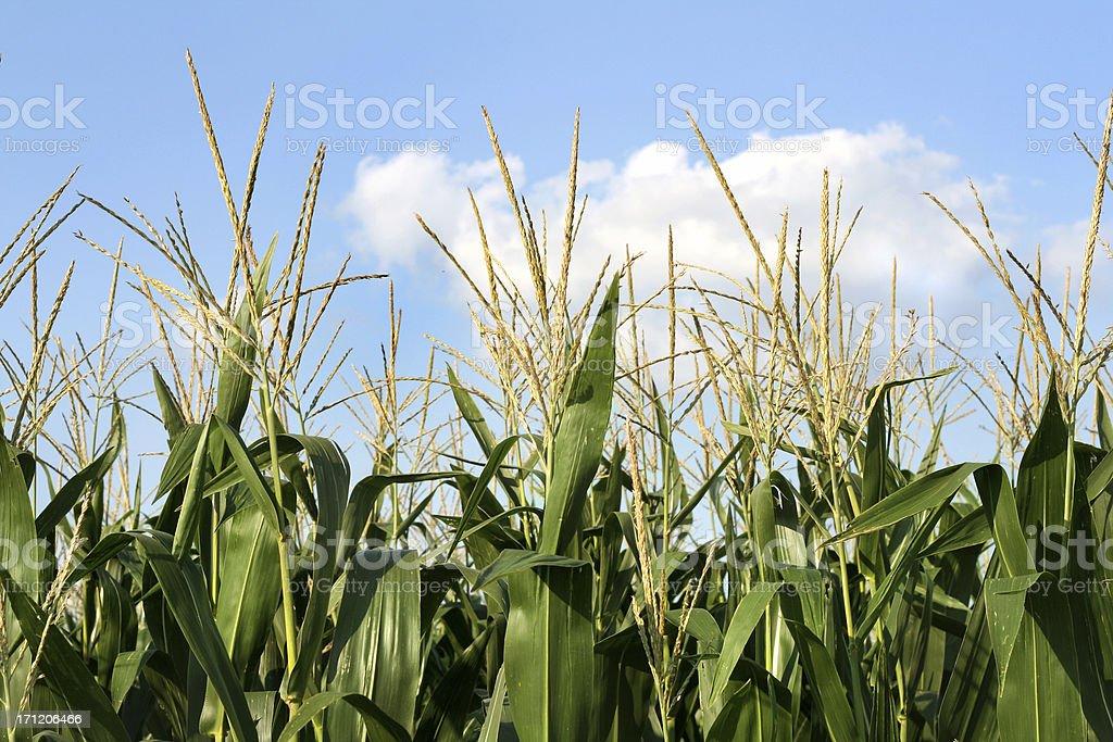 Corn Up Close 2 royalty-free stock photo