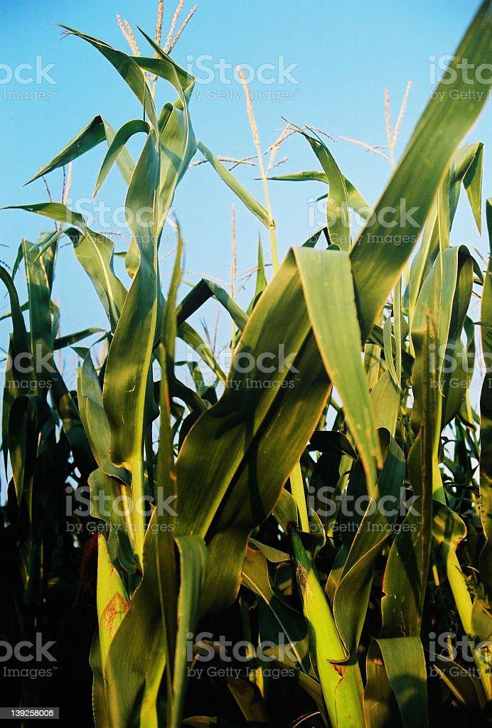 Corn_Seward county royalty-free stock photo