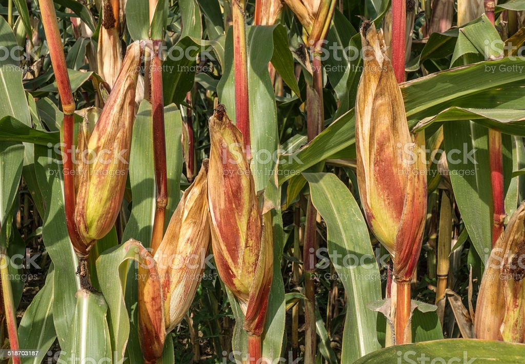 Corncobs on a field royalty-free stock photo