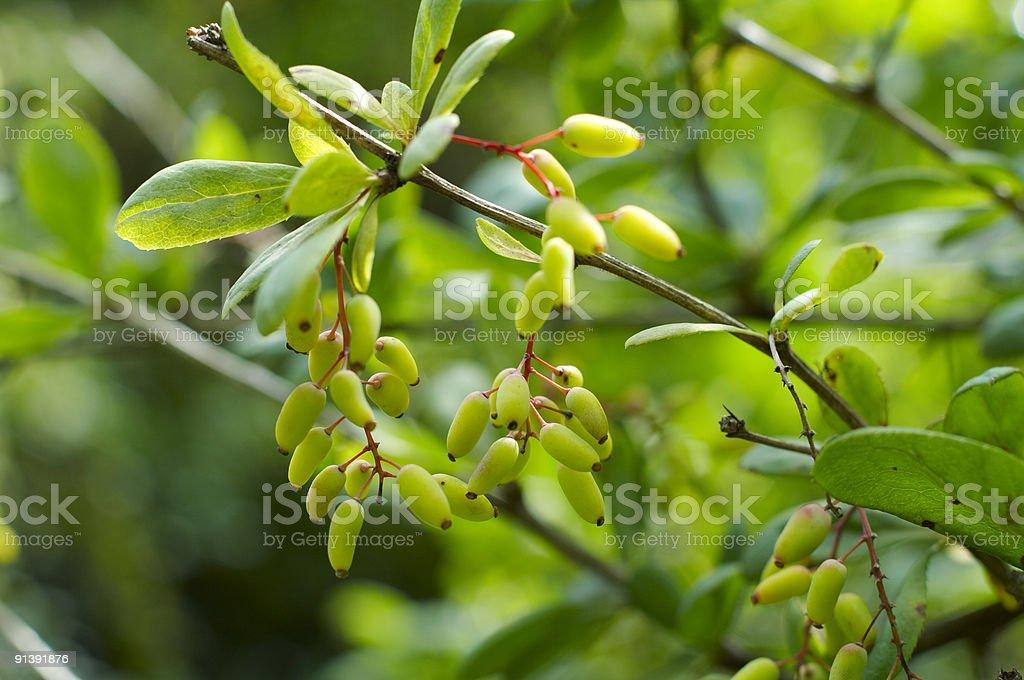 Cornelian cherries stock photo