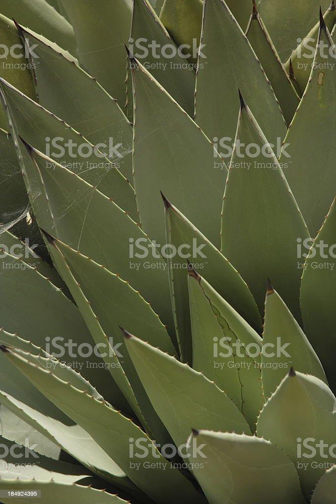 Corner Cactus royalty-free stock photo