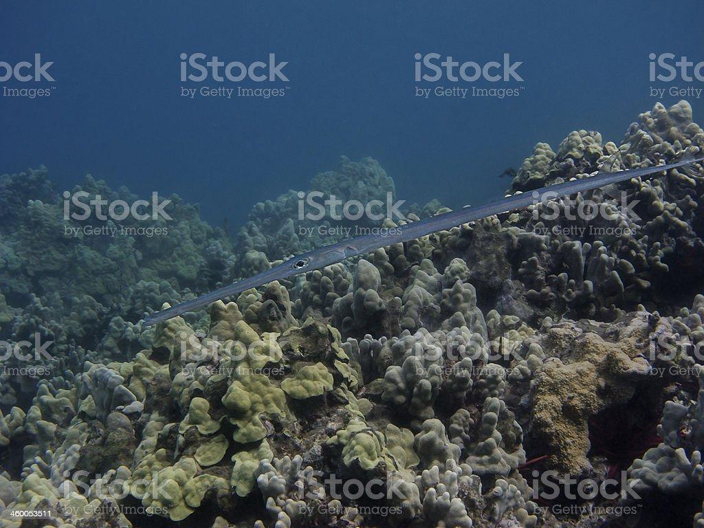 Cornetfish stock photo