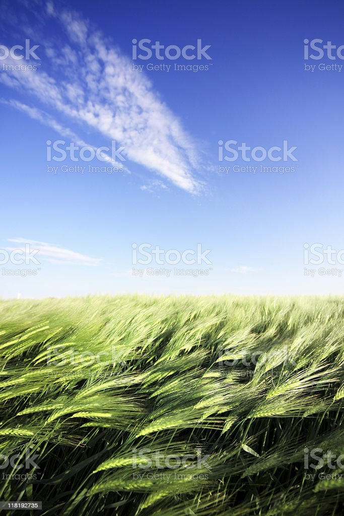 cornfield and blue sky royalty-free stock photo