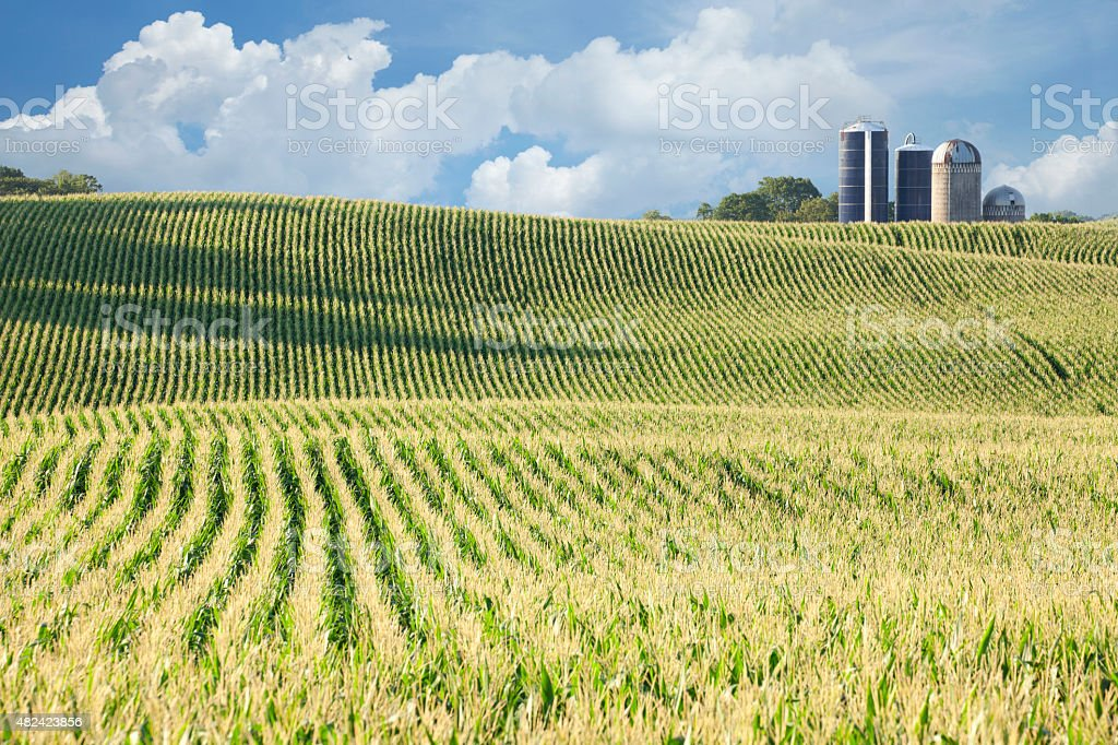 Cornfield and silos on sunny day with clouds stock photo
