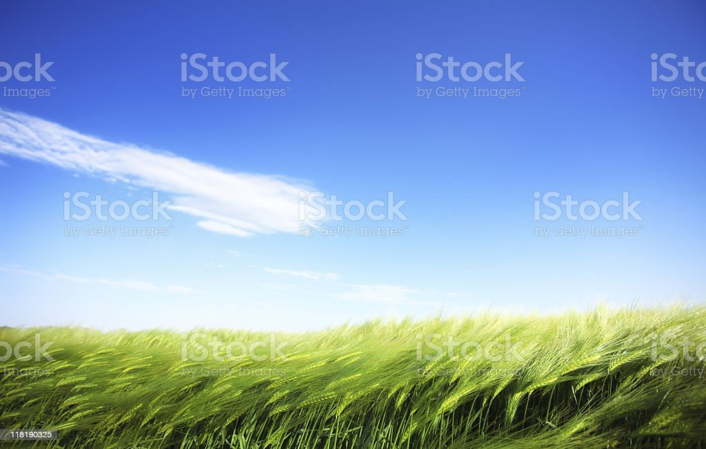 cornfield and windy weather royalty-free stock photo