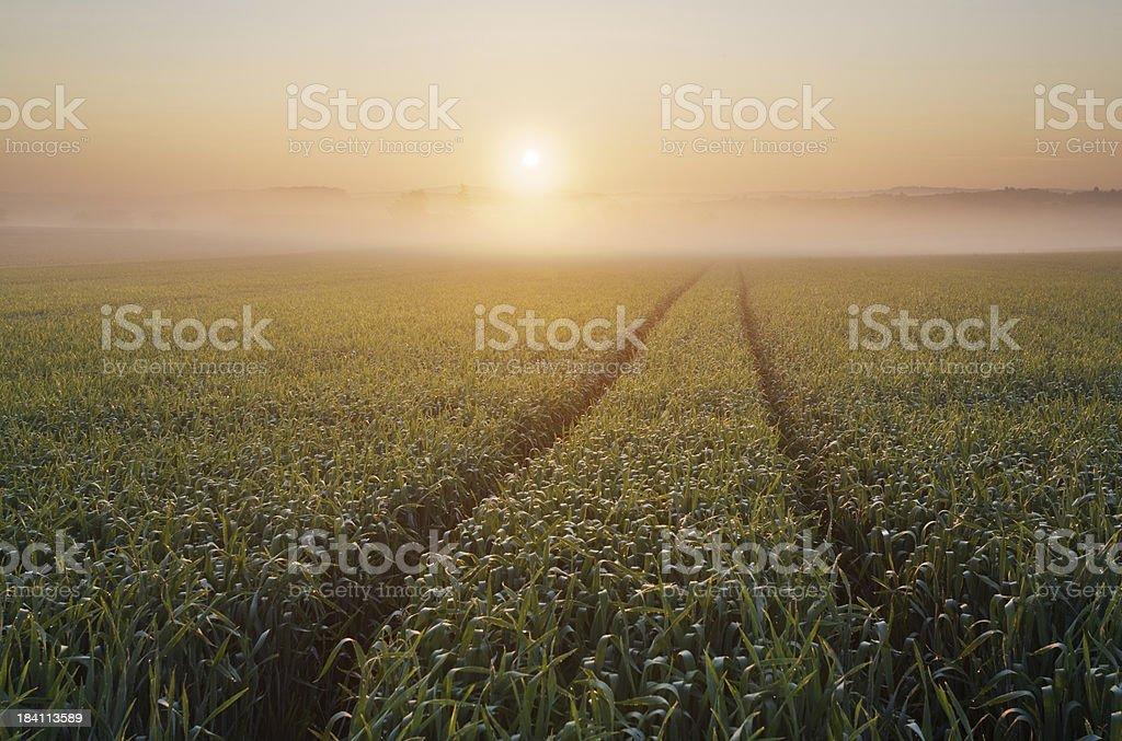 cornfield at sunrise royalty-free stock photo