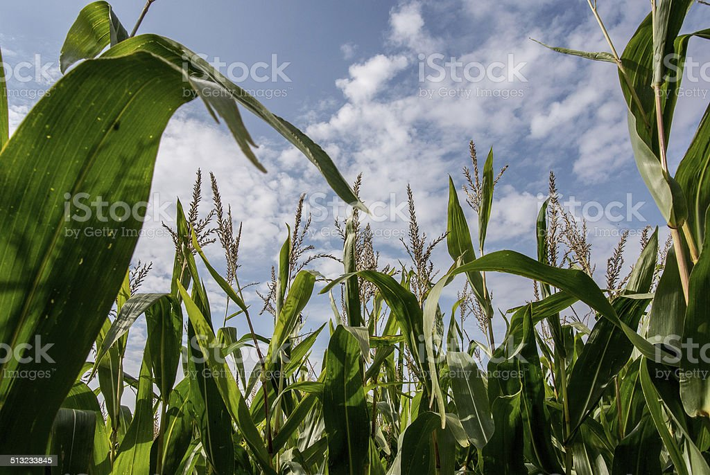 Cornfield, Background, Agriculture stock photo