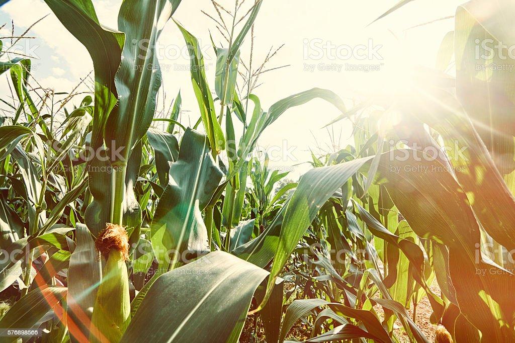 Cornfield Background stock photo
