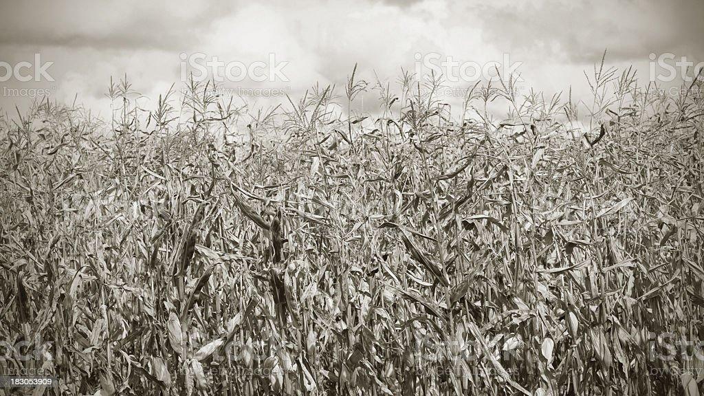 Cornfield. Black and white. stock photo